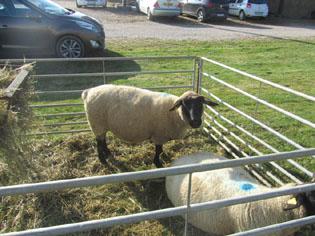 Modele mouton pour prenom bois